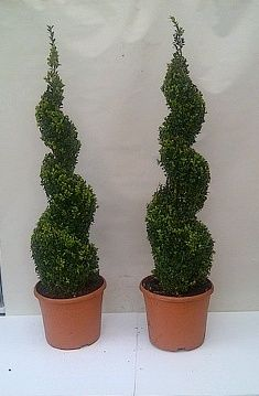 Buxus spiral topiary trees