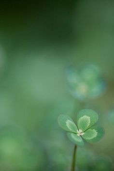 minimalist nature photography / four leaf clover / lucky aesthetic / irish mood / green color / simple macro / beautiful close up / iphone wallpaper inspiration Beautiful Flowers, Beautiful Pictures, Foto Top, Four Leaves, Four Leaf Clover, Clover 3, Macro Photography, Shades Of Green, Belle Photo