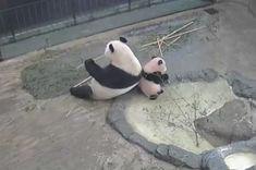 閲覧注意! 赤ちゃんパンダ「シャンシャン」の可愛さが殺人級