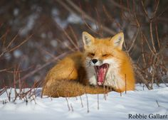 Red Fox by RobbieGallant #animals #animal #pet #pets #animales #animallovers #photooftheday #amazing #picoftheday