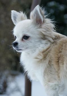 Galerie Julies Amy - Seite 2 - Fotogalerie - Chihuahuaforum