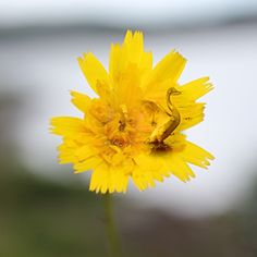 Yellow Swan; Manipulert bilde i app photoshopmix