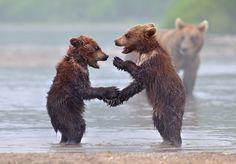 Wilde beren, zo lief dat je ze bijna wilt knuffelen