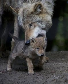 A Mongolian wolf pup was born April at Zoo Zurich in Switzerland. Zoo keepers had prepared a den (with a hidden camera) for the first time wolf mother, but she used it for only several days. She soon took her pup to different dens the wolves h Wolf Spirit, My Spirit Animal, Wolf Pictures, Animal Pictures, Beautiful Creatures, Animals Beautiful, Tier Wolf, Baby Animals, Cute Animals