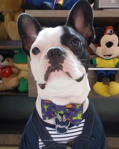 Harry, the French Bulldog