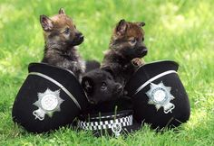 """The seven-week-old German Shepherds are being groomed as the next generation of canine crime-fighters for West Midlands Police. The cute and fluffy dogs are being taught to be """"obsessed with toys"""" to assist their training for this very serious job Cute Puppies, Cute Dogs, Dogs And Puppies, Doggies, German Shepherd Puppies, German Shepherds, Police Dogs, Funny Police, Police Wife"""