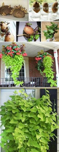 This Hanging Sweet Potato Vine Plant is a Sweet Decoration for a Kitchen Windowsill. This Hanging Sweet Potato Vine Plant is a Sweet Decoration for a Kitchen Windowsill. Container Vegetables, Planting Vegetables, Container Plants, Growing Vegetables, Vegetable Garden, Container Gardening, Veggies, Growing Sweet Potatoes, Growing Tomatoes In Containers