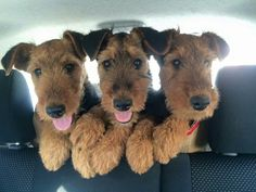 Triple-Cute!!  Airedale Pups