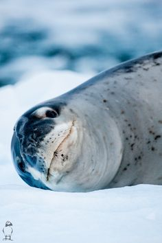 Funny Wildlife, earthandanimals: Leopard Seal by Daniel Tauste