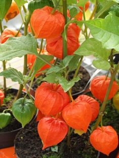 Chinese Lantern..want to grow these this year...but where?