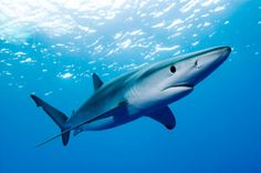 A list of Animals that Start with B. This large collection of animals starting with B contains the meaning and an example of the word in a sentence. #animalsthatstartwithB #animalswithB #BlueShark
