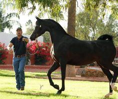 RH Triana :: Arabian horses of Aria International - Arabian horses, stallions, mares, colts, fillies, for sale