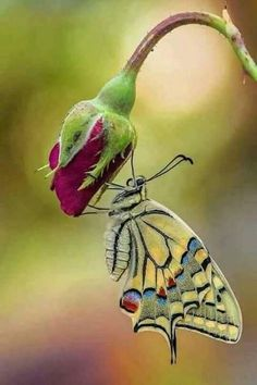 """The post """"Most Beautiful Butterfly Pictures & Wish Letter"""" appeared first on Pink Unicorn Bilder Beautiful Creatures, Animals Beautiful, Cute Animals, Butterfly Kisses, Butterfly Art, Butterfly Lighting, Butterfly Pupa, Butterfly Chrysalis, Butterfly Images"""