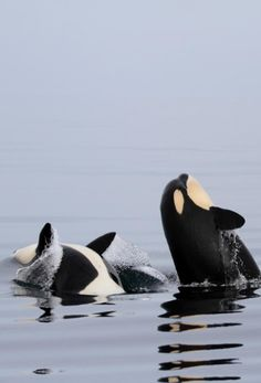 #orca