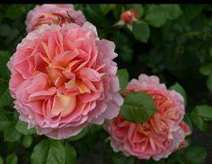 Nog een mooie foto van een van  mijn rozen.