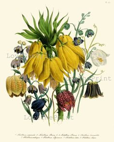 BOTANICAL PRINT Loudon Flower Botanical Art Print 61