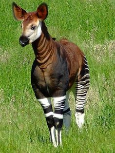 The okapi is the closest living relative is the giraffe