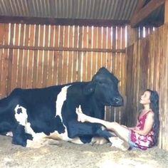 Cute Little Animals, Cute Funny Animals, Funny Cute, Cute Animal Videos, Funny Animal Pictures, Animal Original, Fluffy Cows, Cute Cows, Tier Fotos