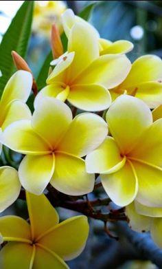 Yellow Morning Plumeria. #SaksGlamGardens
