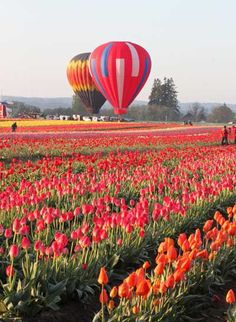 Summer Colors - Tulips are an inspiration of summer colors