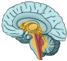 Psychotherapists! Learn about brain basics to enhance your clinical practice at the neuropsychotherapy institute.