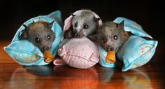 Grey-headed flying foxes wrapped in blankets  Orphaned baby flying foxes at Widlife Victoria, Melbourne, Australia