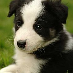 colour headed white border collie with an amazing split