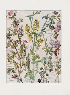 Wild Liquorice, Yellow Melilot from H. Isabel Adams Chromolithograph Flower Prints