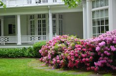 Hedges Framing Iceberg Roses Perfect For The Front Yard