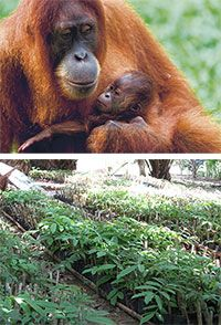 Plant Trees to Save Orangutan Habitat at The Rainforest Site  $28.00 will plant over 50 seedlings of trees that they orangutans eat from