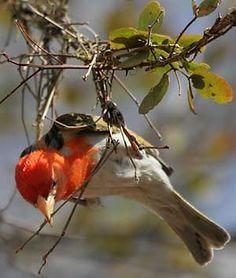 Redheaded Weaver (Anaplectes rubriceps) using its beak to weave the nest