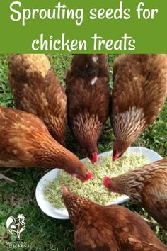 Chickens love sprouting seeds - they're an inexpensive, protein-rich treat! Learn how to make them here! #sproutingseeds #backyardchickens #backyardchickentips #backyardchickenfeed #chickenfeed