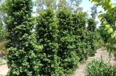 Syzygium 'Straight and Narrow' Pot - Hello Hello Plants & Garden Supplies Hedge Trees, Evergreen Hedge, Privacy Trees, Privacy Plants, Trees To Plant, Garden Privacy, Australian Native Garden, Australian Plants, Types Of Soil