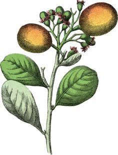 Botanical Paradise Plum Image - Free The Graphics Fairy Botanical Flowers, Botanical Prints, Floral Prints, Wonderful Flowers, Fruit Print, Graphics Fairy, Printable Art, Printables, Pointillism