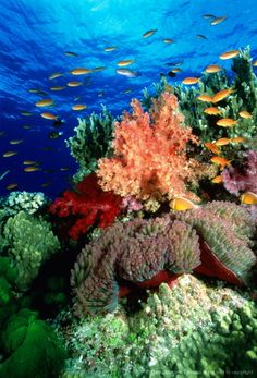 Soft coral garden with anemone, Fiji Islands