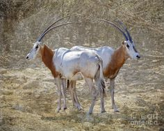 Scimitar Horned-oryx, Extinct In The Wild Photograph