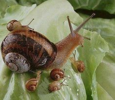 mom and baby snails