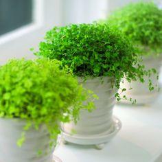 SLAAPKAMERGELUK - een sfeervol plantje dat bijdraagt aan een prettig binnenklimaat en is zeer geschikt voor in de slaapkamer.