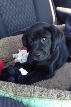 Black lab puppy girl Penny.