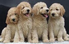 Golden doodles!!!