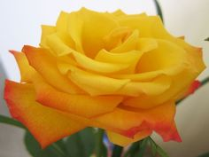 """""""No one but the yellow rose bush knows how good mud feels between the toes."""" --From a poem titled """"Mud"""" celebrating the yellow rose."""