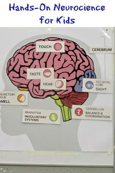 Hands-On neuroscience lesson for kids. hands-on neuroscience lesson for kids human body activities Brain Science, Preschool Science, Science Fair, Science Lessons, Teaching Science, Science For Kids, Science Activities, Science Projects, Life Science
