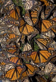 michoacan Mexico, Estado de las Monarcas.... The State of the Monarch Butterfly.