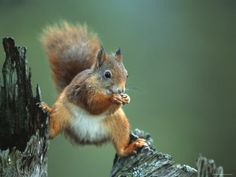 Red Squirrel Balancing on Pine Stump, Norway Premium Poster