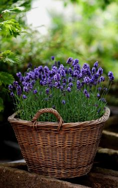Growing lavender, lavender garden, lavender flowers, how to plant lavender,