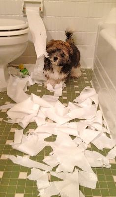 Rocco Havanese toilet paper art!  (I'm so glad that, so far, our dogs have ignored the toilet paper! Oh My!