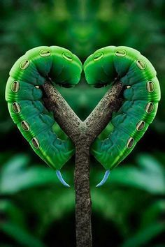 Photo of Moth Caterpillar love :) for fans of Beautiful Pictures 34674075 I Love Heart, Happy Heart, My Heart, Amor Animal, Mundo Animal, Heart In Nature, Heart Art, Nature Nature, Green Nature