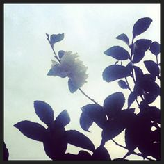 Lonely white camellia. I love you.