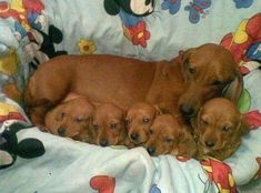 Mother an babies doxie There are 5 of them!! #Dachshund