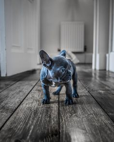 Luna the Blue - the new puppy of the family!!!!